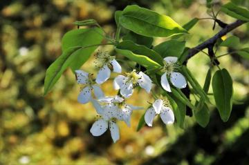 盛开的苹果花,高清壁纸图片,鲜花背景-好运图库
