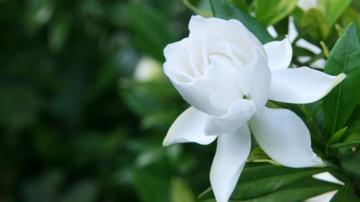 洁白无瑕的栀子花,高清壁纸图片,鲜花背景-好运图库