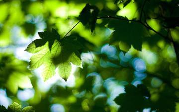 逆光的叶子,高清壁纸图片,植物绿叶-好运图库