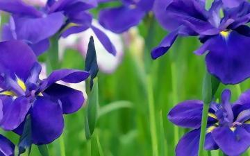 手绘清新紫罗兰高清图片-好运图库