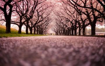 樱花唯美意境,高清壁纸图片,鲜花背景-好运图库