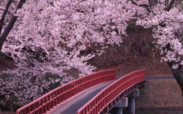 诗情画意的樱花-高清壁纸图片-鲜花背景-好运图库