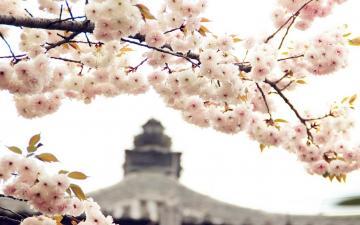 诗情画意的樱花
