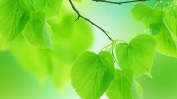 绿色小清新叶子,高清壁纸图片,植物绿叶-好运图库