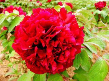 国色天香的牡丹-高清壁纸图片-鲜花背景-好运图库