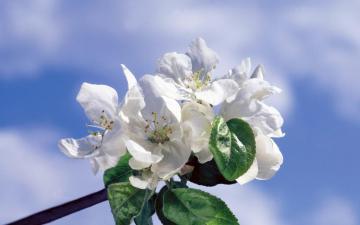 浪漫白色鲜花-高清壁纸图片-好运图库