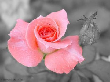 玫瑰花图片大全高清图片-好运图库