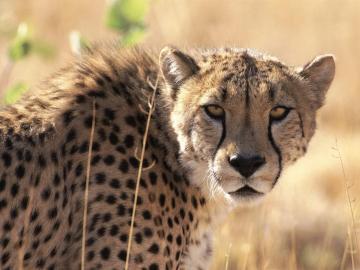 豹子高清图片-好运图库
