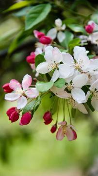 春暖花开——海棠,锁屏图片,手机壁纸,植物-好运图库