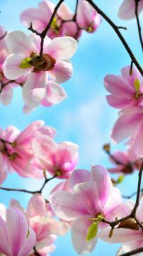 春暖花开——玉兰,锁屏图片,手机壁纸,植物-好运图库