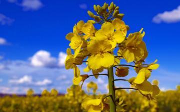油菜花开的季节,高清壁纸图片,植物绿叶-好运图库