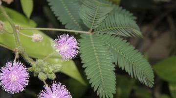 含羞草为什么会害羞,高清壁纸图片,植物绿叶-好运图库