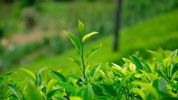 绿色植物茶叶清新图片,高清壁纸图片,植物绿叶-好运图库
