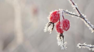 冬季霜降的红果实图片,高清壁纸图片,水果蔬菜-好运图库