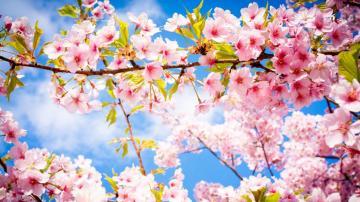 4k高清櫻花唯美圖片,高清壁紙圖片,鮮花背景-好運圖庫