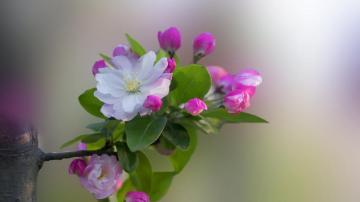 5k高清粉色海棠花唯美圖片,高清壁紙圖片,鮮花背景-好運圖庫
