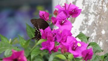 5K廈門市花三角梅圖片,高清壁紙圖片,鮮花背景-好運圖庫
