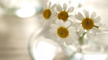 清澈花语的小白菊高清壁纸-好运图库