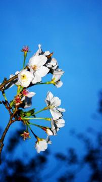 破晓时分的樱花,锁屏图片,手机壁纸,植物-好运图库