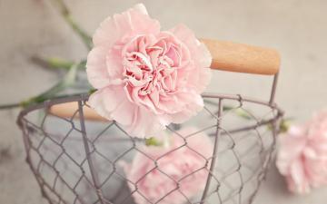 粉红色的康乃馨高清图片-好运图库