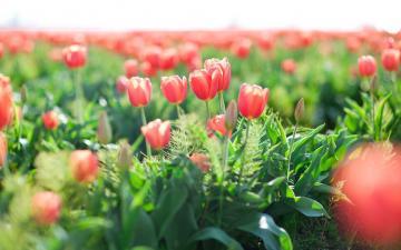 唯美郁金香花海,高清壁紙圖片,鮮花背景-好運圖庫