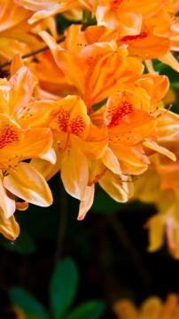 淡橙色花-锁屏图片-高清手机壁纸-风景-好运图库