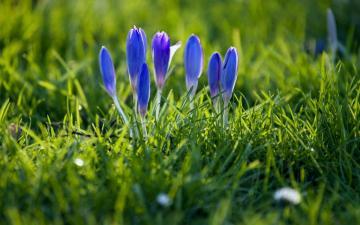 唯美紫色番紅花,高清壁紙圖片,鮮花背景-好運圖庫