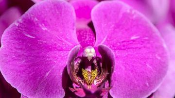 幽香蝴蝶兰高清壁纸图片-鲜花背景-好运图库