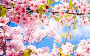 花团锦簇的樱花高清壁纸图片-好运图库