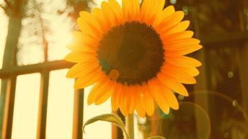 希望之花向日葵高清壁纸图片-好运图库