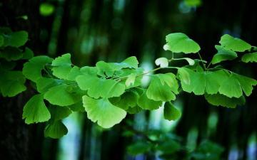 小清新绿色银杏叶子,高清壁纸图片,植物绿叶-好运图库