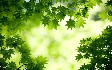 小清新嫩绿枫叶,高清壁纸图片,植物绿叶-好运图库