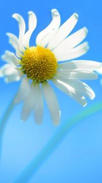 白色菊花,锁屏图片,高清手机壁纸,风景-好运图库
