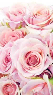 新鲜的粉红玫瑰鲜花特写-手机壁纸-好运图库