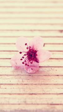 开放的樱花,锁屏图片,高清手机壁纸,风景-好运图库