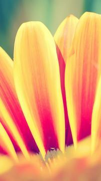 橙色雏菊花瓣,锁屏图片,手机壁纸,植物-好运图库
