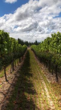 新西兰的葡萄园,锁屏图片,高清手机壁纸,风景-好运图库