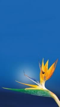 天堂鸟花,锁屏图片,高清手机壁纸,风景-好运图库