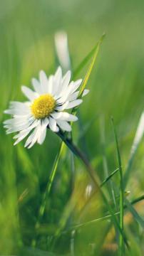 雏菊花,锁屏图片,高清手机壁纸,风景-好运图库