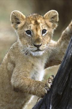 幼狮高清手机壁纸-好运图库