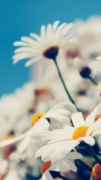 雏菊花开春意浓,锁屏图片,手机壁纸,植物-好运图库