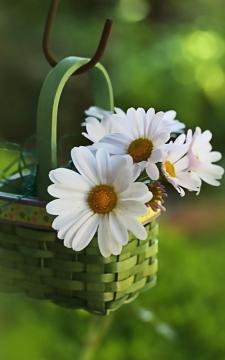 竹篮里的雏菊花,锁屏图片,手机壁纸,植物-好运图库