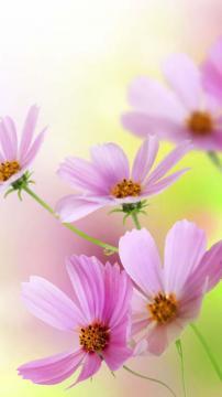 绽放最美的花韵,锁屏图片,手机壁纸,植物-好运图库