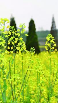 油菜花开,锁屏图片,手机壁纸,植物-好运图库