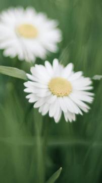 白色的小邹菊花-锁屏图片-手机壁纸-好运图库