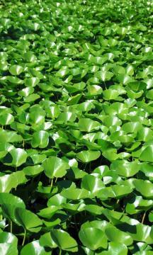 浮水植物水葫芦,锁屏图片,手机壁纸,植物-好运图库