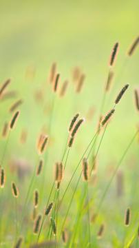 清新自然的狗尾草,锁屏图片,手机壁纸,植物-好运图库