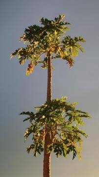 木瓜树,锁屏图片,手机壁纸,植物-好运图库