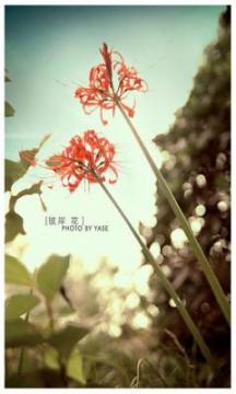 彼岸花,锁屏图片,手机壁纸,植物-好运图库