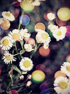 菊花,锁屏图片,手机壁纸,植物-好运图库